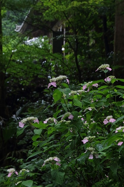 惣河内神社山紫陽花 160607 03