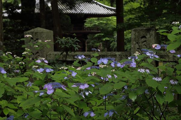 惣河内神社山紫陽花 160607 04