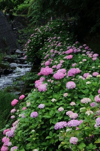 白猪の滝農村公園・紫陽花 160613 02
