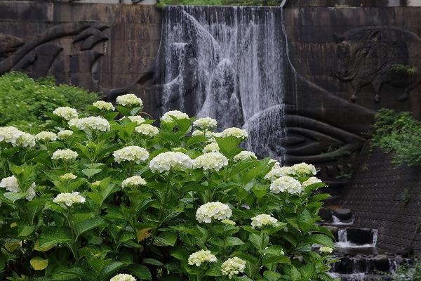 白猪の滝農村公園・紫陽花 160613 03