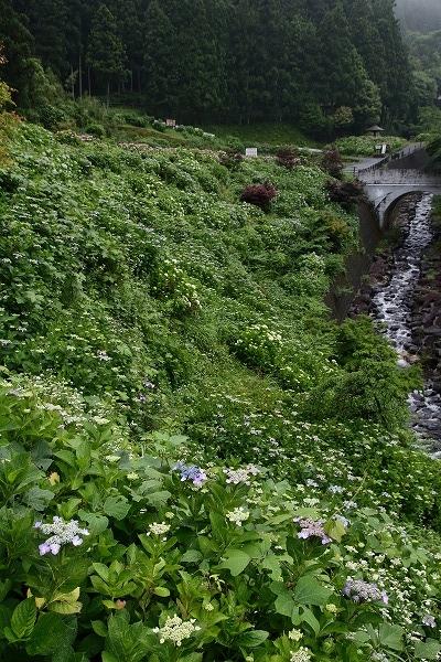 白猪の滝農村公園・紫陽花 160613 05