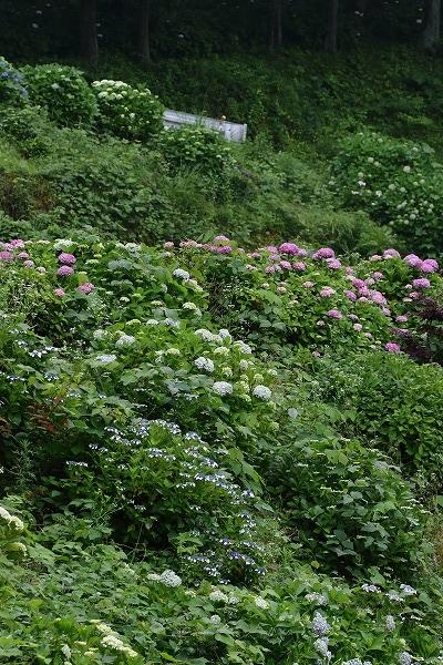 白猪の滝農村公園・紫陽花 160613 06