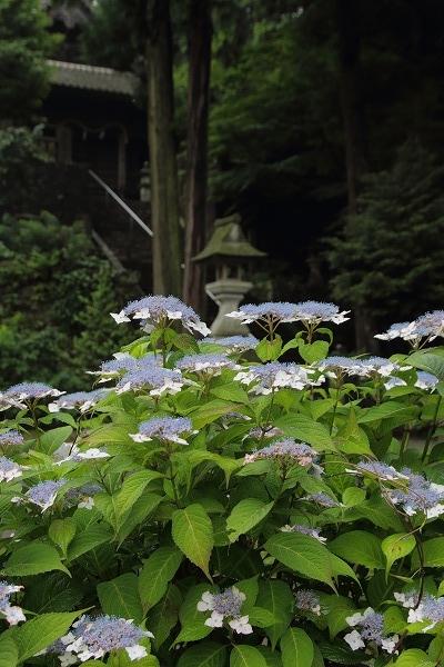 惣河内神社・山紫陽花 160613 01
