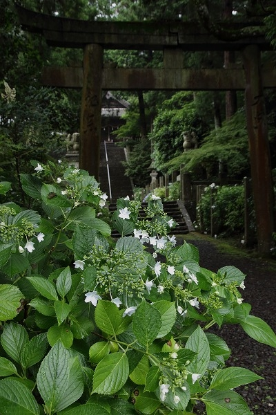 惣河内神社・山紫陽花 160613 04
