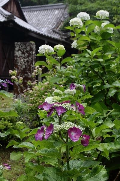 惣河内神社・山紫陽花 160613 08