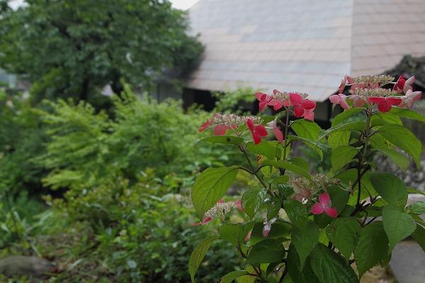 惣河内神社・山紫陽花 160613 09