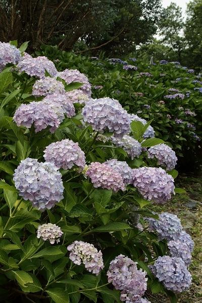 森の交流センター紫陽花 160615 01