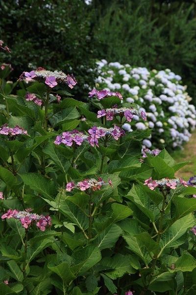 森の交流センター紫陽花 160615 02