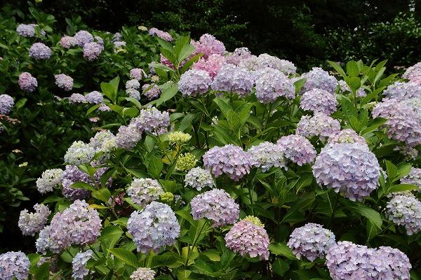 森の交流センター紫陽花 160615 03