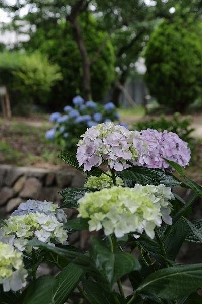 森の交流センター紫陽花 160615 05