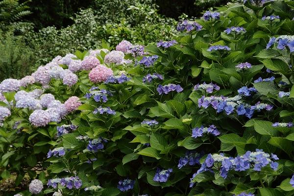 森の交流センター紫陽花 160615 04