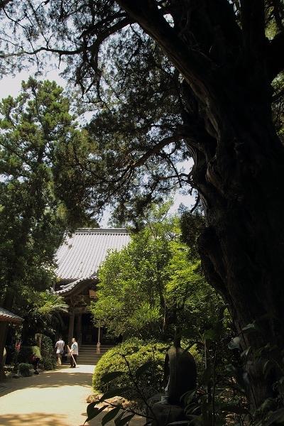浄瑠璃寺ビャクシン 160618 04