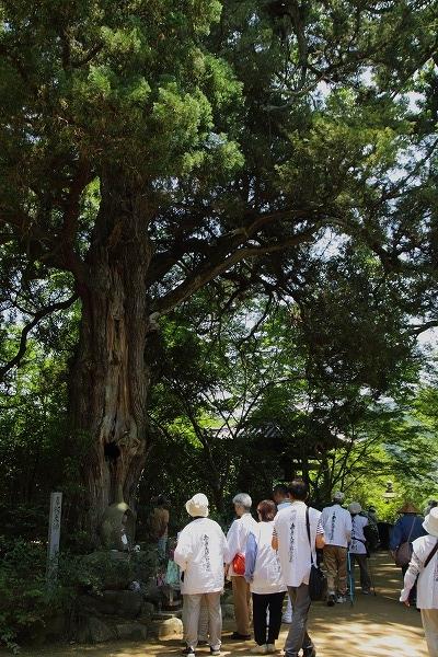 浄瑠璃寺ビャクシン 160618 03