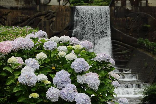 白猪の滝農村公園・紫陽花 160630 05