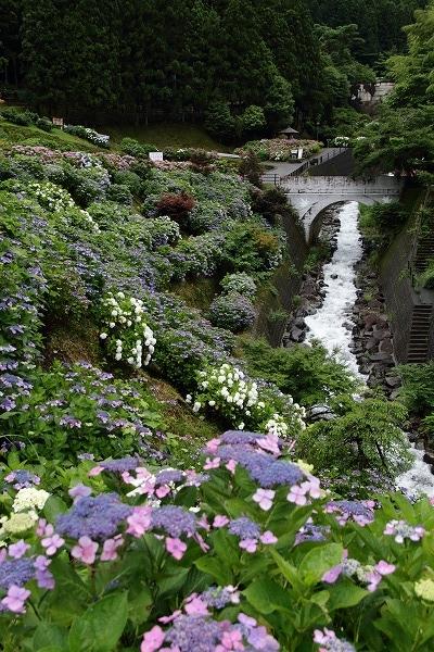 白猪の滝農村公園・紫陽花 160630 02
