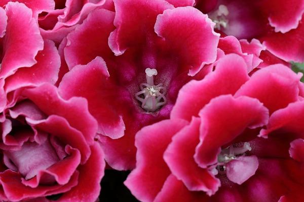 花き研究指導室グロキシア 160622 05