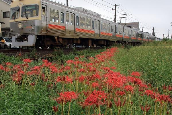 伊予鉄電車&彼岸花 160922 04