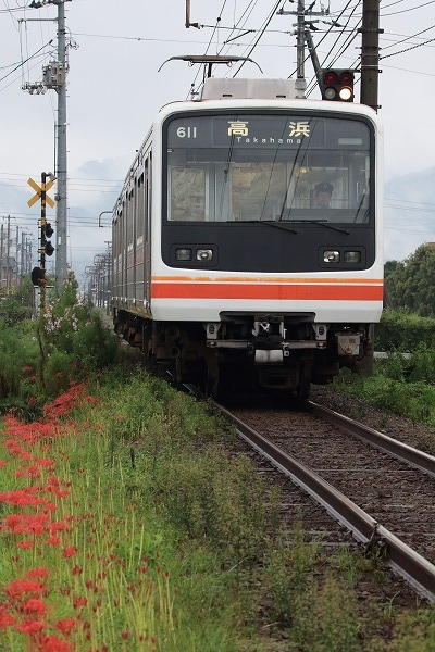 伊予鉄電車&彼岸花 160922 05