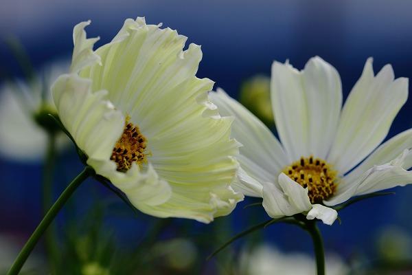 花き研究指導室 コスモス 161002 02