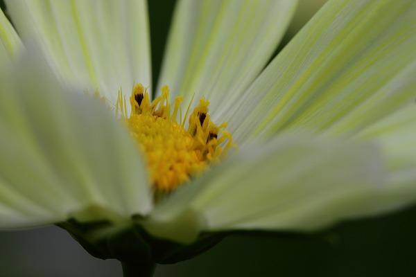 花き研究指導室 コスモス 161002 03