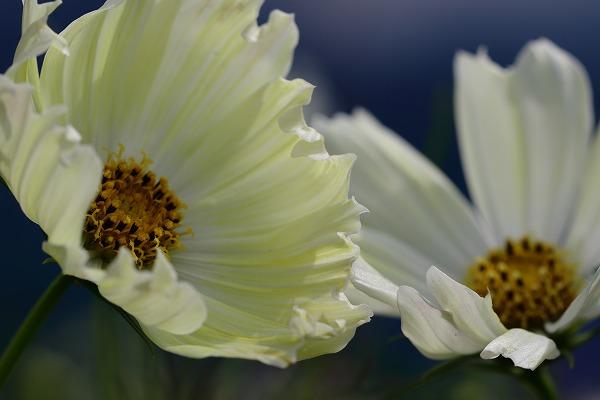 花き研究指導室 コスモス 161005 03