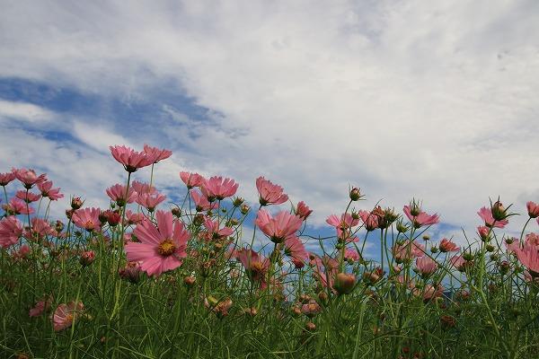 花き研究指導室 コスモス 161008 03