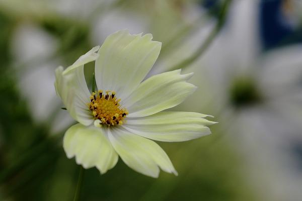 花き研究指導室 コスモス 161023 03