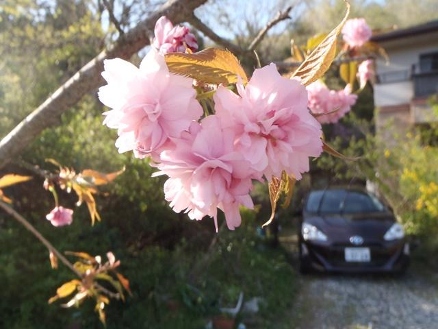 八重の枝垂れ桜20160417