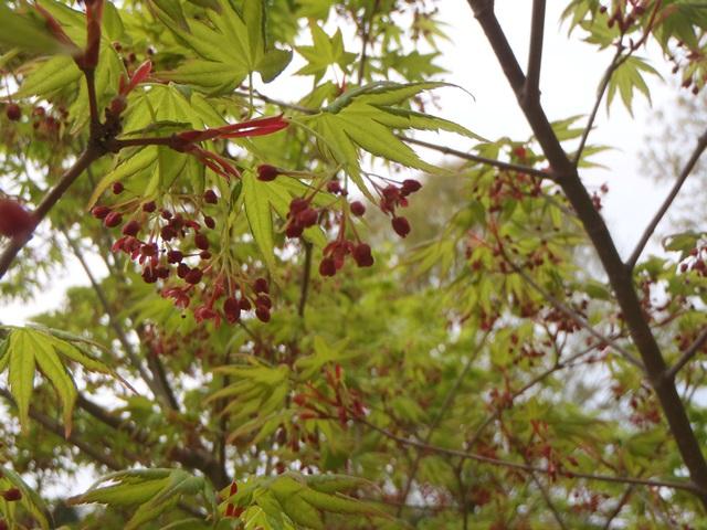 イロハモミジの花20160419