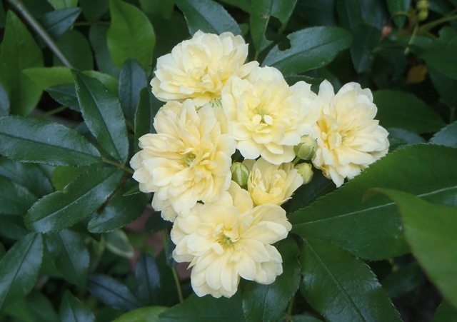 モッコウバラ黄色20160501