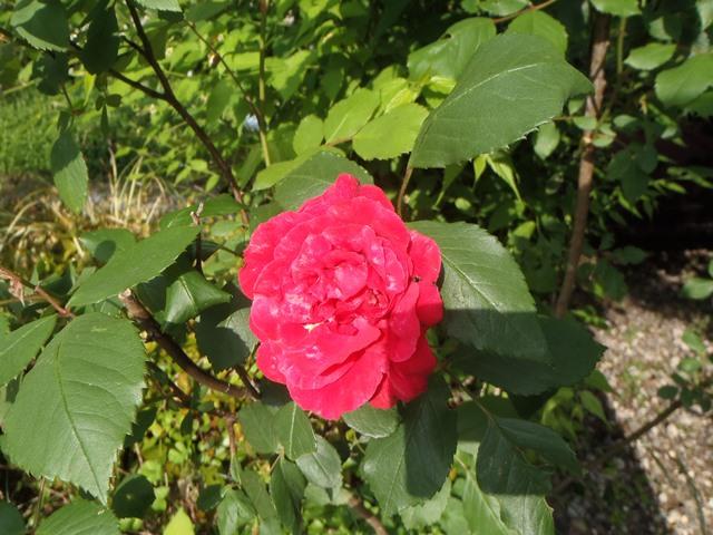 赤いバラ20160514
