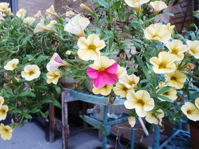 カリブラコアの花色変化20160524