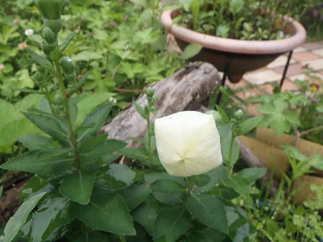 白の桔梗20160629