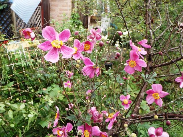 ピンクの秋明菊20160929