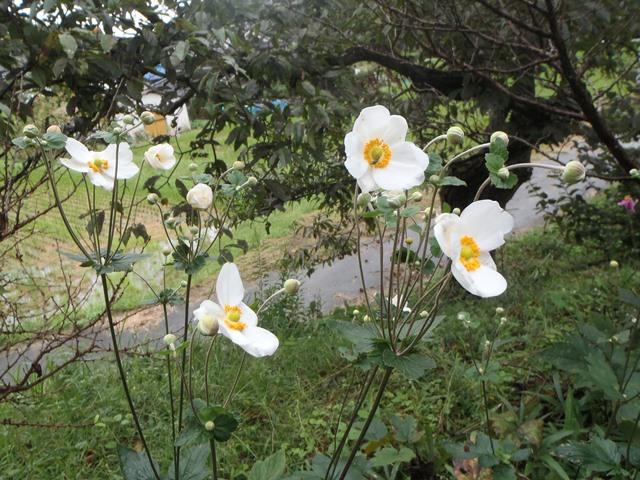 白の秋明菊20160929