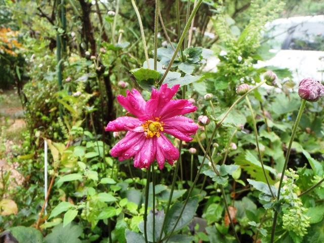 八重の秋明菊20160929
