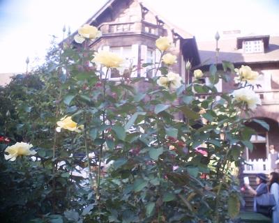 黄色いバラ・旧古河庭園:R2