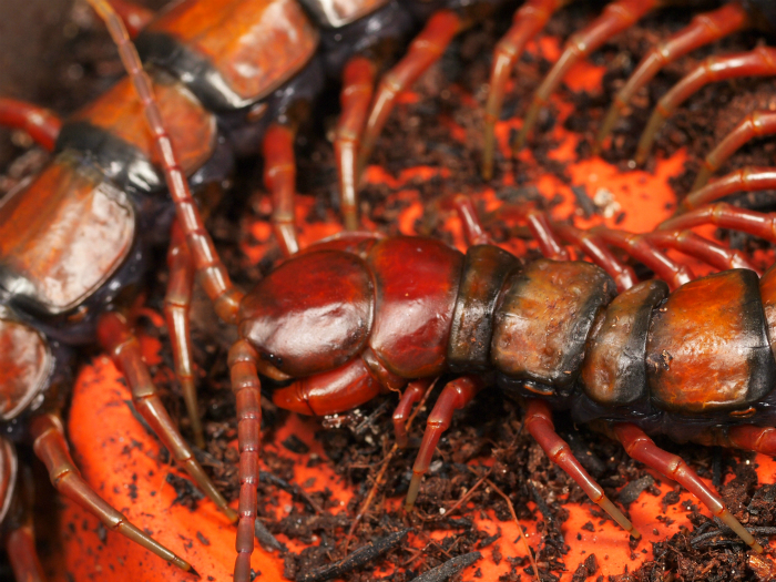 s700Scolopendra subspinipes バルバドスオオムカデ