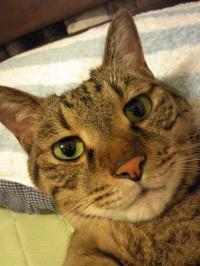 猫(シャマラン)の誕生月