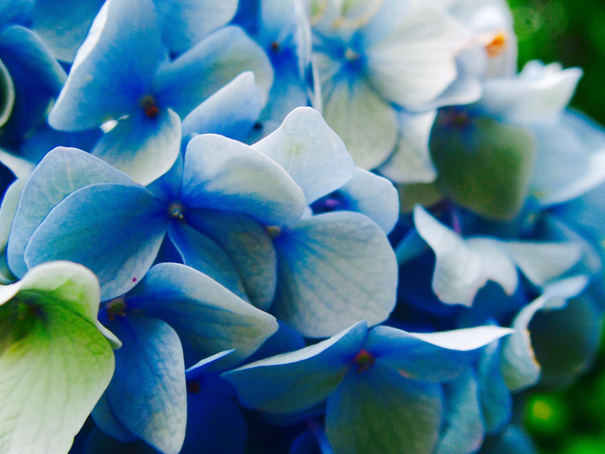紫陽花寄り絵