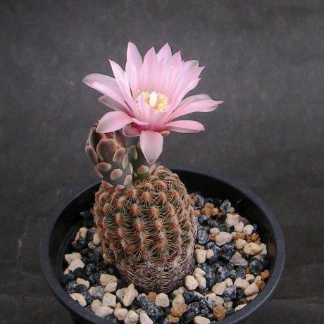 Sany0060--bruchii ssp pawlovskyi--RH 2939a--SantaCruz Sobremonte Cordoba 930m--ex Eden 18578