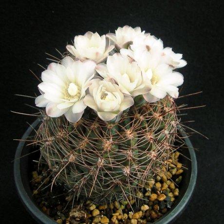 Sany0173--andreae ssp carolinense--GN 88-104--piltz seed 3026