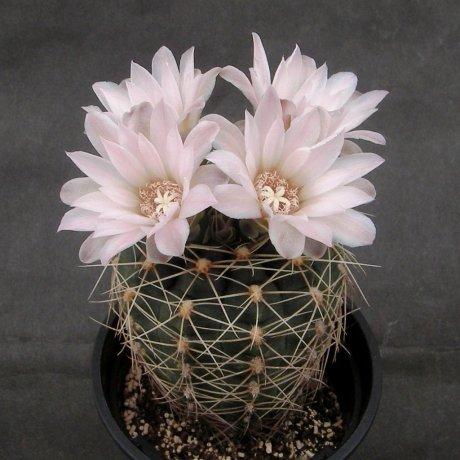 Sany0133--bruchii ssp ludwigii v eltrevolense--JPR 103-248--Vila del Carmen--Bercht seed 3181(2013)