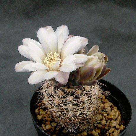 Sany0125--carolinense ssp ludwigi var eltrebolense--JPR 103-248--S of Villa Carmen Sierra de Comechingones SL 1010m--ex Eden