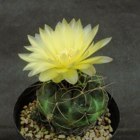 Sany0186--andreae v longispinum--Piltz seed 5458