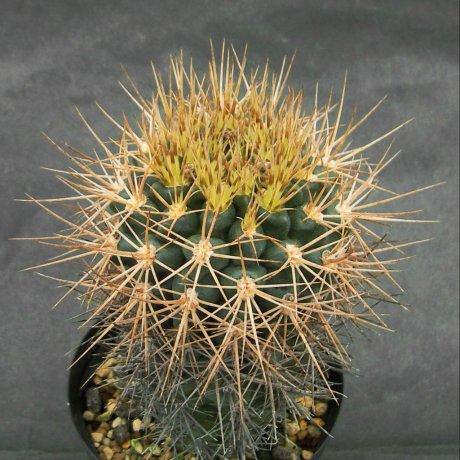 Sany0031--neuhuberi-- Succseed seed 366