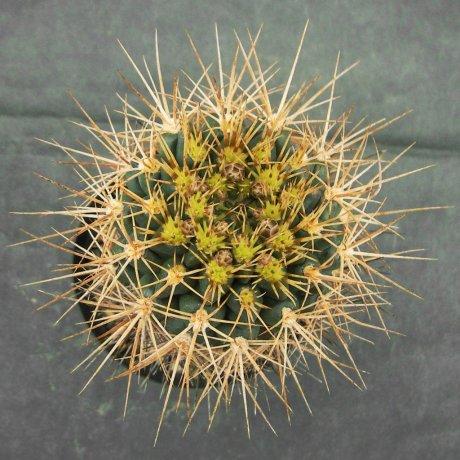 Sany0033--neuhuberi--Succseed seed 366