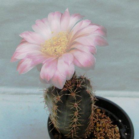 Sany0121--andreae v grandifloum--SNE 04-108--Cerro Uritorco, 1800m, Cordoba, Arg.--Bercht seed 2341(2014)
