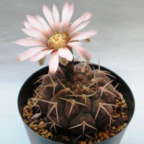 Sany0160--piltziorum--LF 20--Pituil LR--Jecminek seed