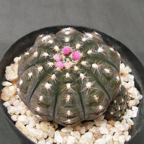 Sany0107--ragonesei roseiflorum-- jecminek seed